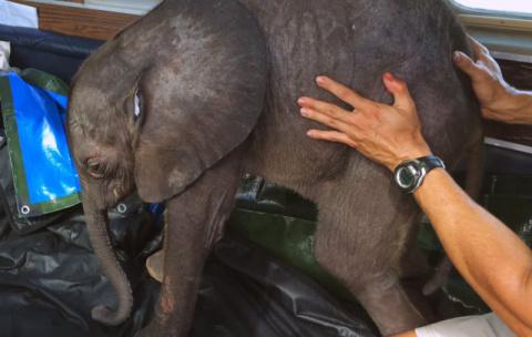 Слоненок Мойо, спасенный и поселенный в доме, хулиганит