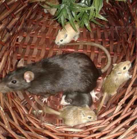 Крыса усыновила мышат, которых ей дали на съедение