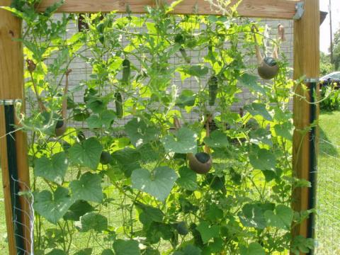 А вы выращиваете огурцы на шпалере?