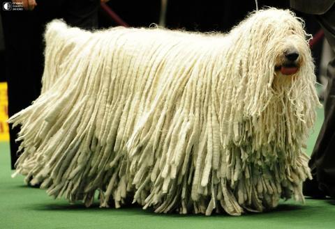 Комондор - собака с дредами