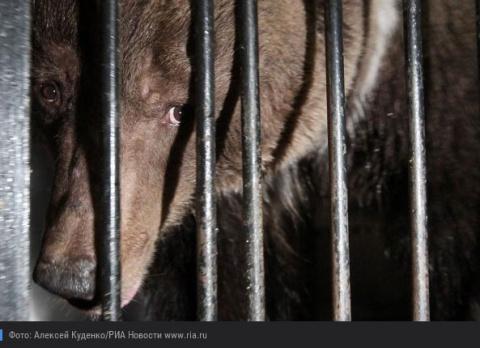 В Ленобласти спасли покалеченную цепями медведицу