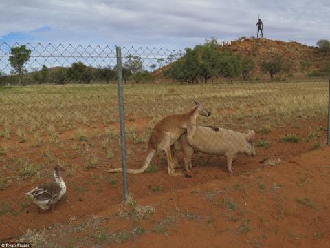 Жизнь — сложная штука: в Австралии гусь-вуайерист подсматривал за занимавшимися сексом свиньей и кенгуру