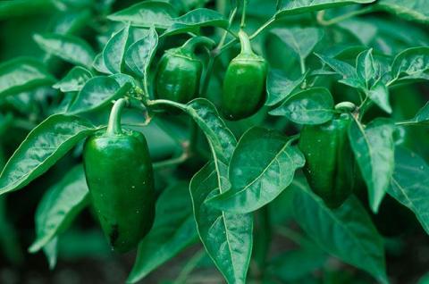 Формировка растений. Почему перцы и баклажаны нуждаются в пасынковании?