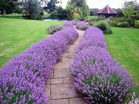 Лаванда в вашем саду