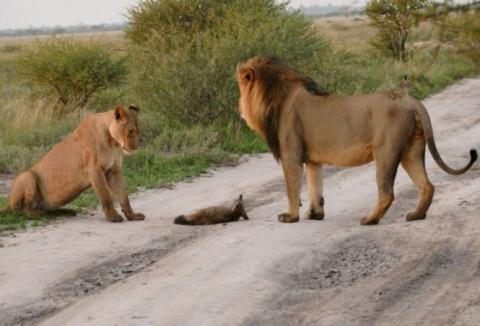 Два льва подошли к раненой л…