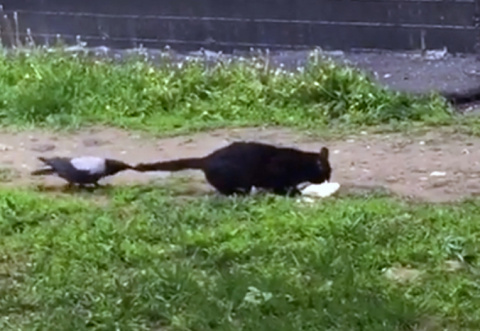 Ворона настойчиво требует кота поделиться с ним лакомством