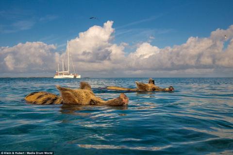 Чудо из чудес - водоплавающие свиньи с Багамских островов