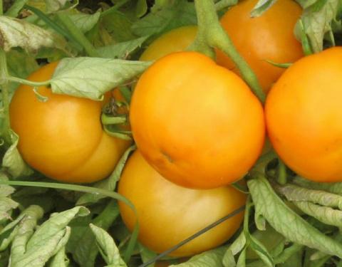 Свои томаты к Новому году
