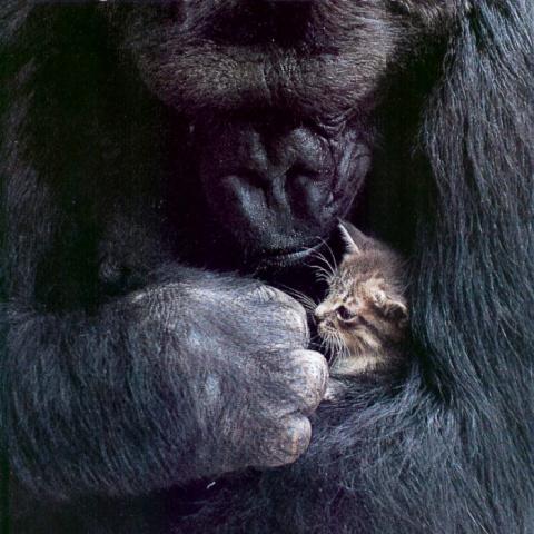 """Знаменитая горилла Коко """"усыновила"""" двух котят"""