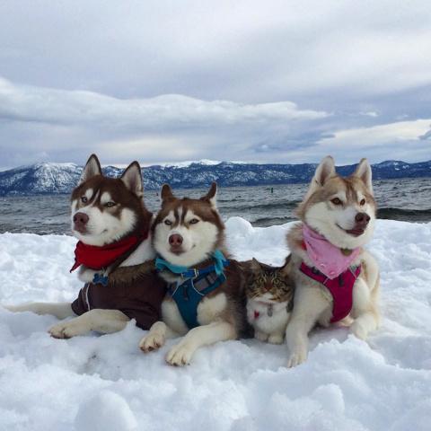 Три собаки хаски спасли от с…