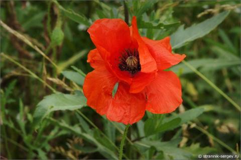 Почему нас так трогают не садовые, а именно полевые цветы?