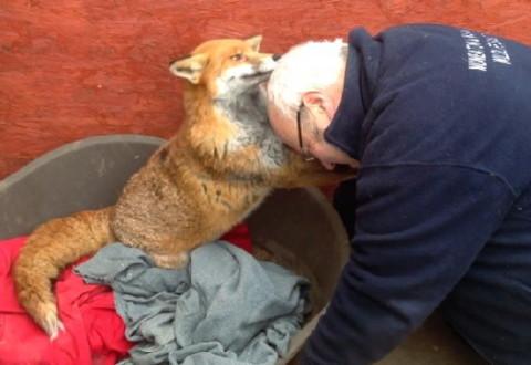 Мужчина спас лису из собачьего приюта