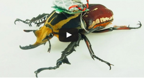 Жук-киборг поможет ученым в изучении насекомых