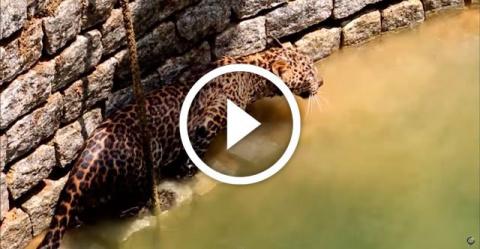 Храбрые жители Индии не побоялись спасти дикого леопарда из колодца.