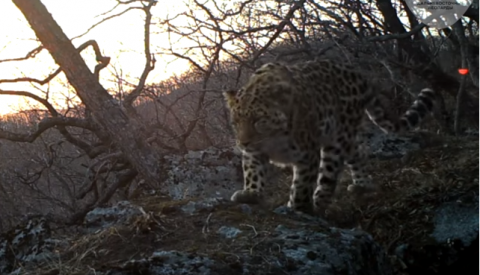 """В Приморье дальневосточный леопард впервые """"спел"""" на камеру"""