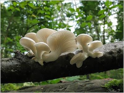 Разведение грибов вешенок