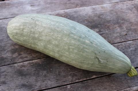 Наш урожай: Гватемальский синий кабачок