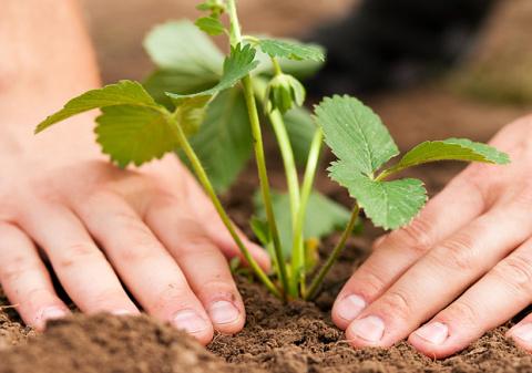 Царские привычки садовой землянички