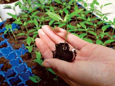 8 важных овощных растений, выращиваемых рассадой