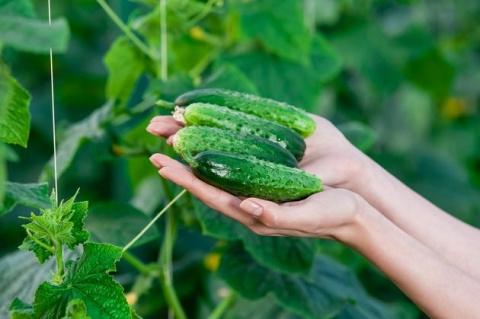 Огурцы, устойчивые к ложной мучнистой росе