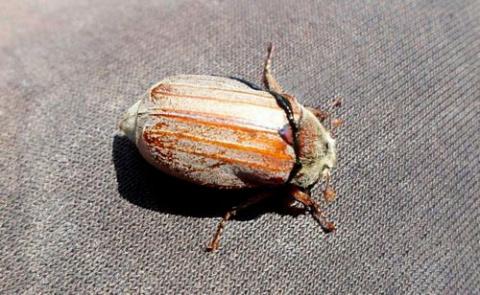 Весной, когда появляется майский жук.