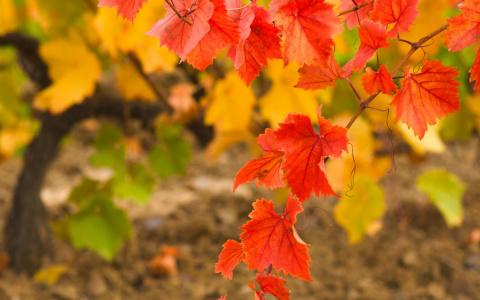 Осенний уход за виноградом –…