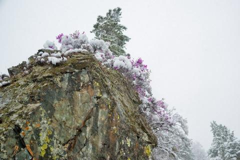 Алтай в цвету