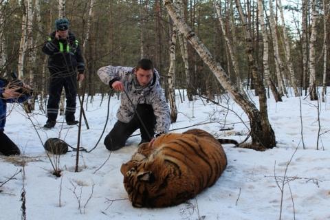 Сбежавший тигр устроил себе экскурсию по улицам воронежа