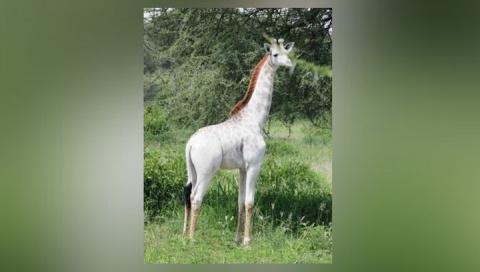В Танзании нашли белого жира…