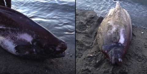 У берегов Аляски выловили уникальную рыбу-тряпку.