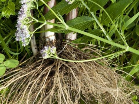 Время собирать корни лекарственных растений