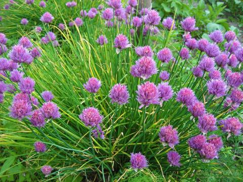Выращиваю шнитт-лук круглый год