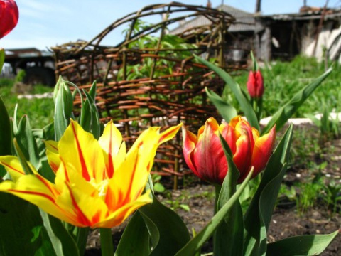Фото моих тюльпанов