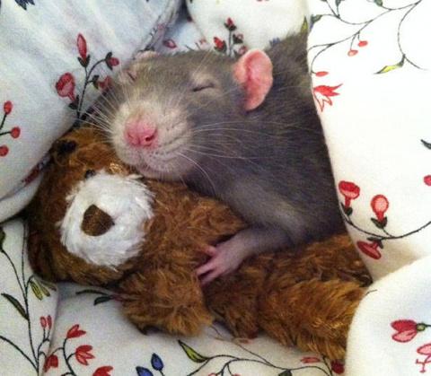 Милые крысы