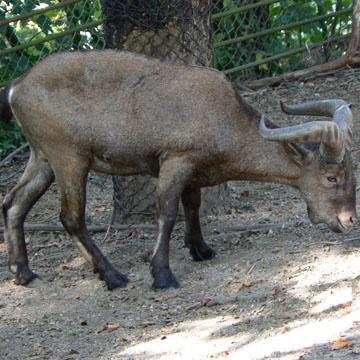 Животные от А до Я. Горные козлы (2)