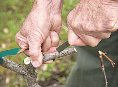 Агротехника летнего черенкования плодовых и декоративных кустарников