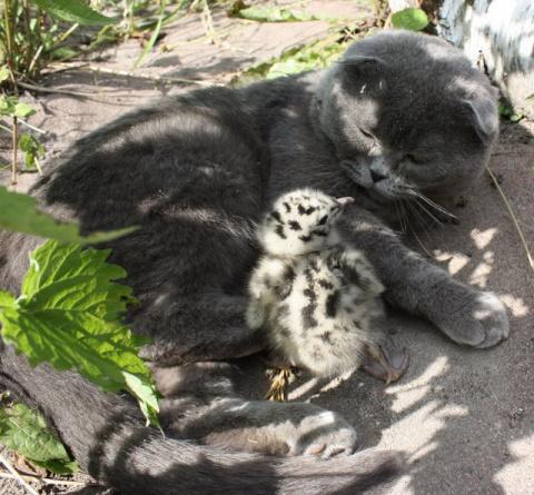 Как коты ухаживали за птенцом чайки ))