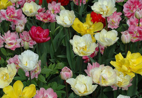 Тюльпан (Tulipa)