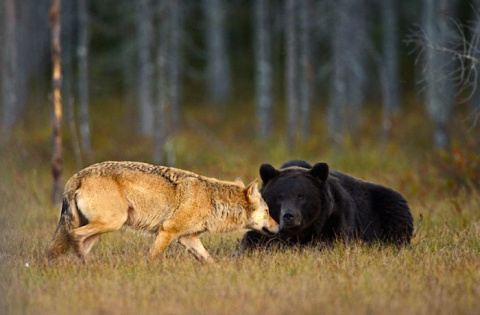 Необычная дружба медведя и волчицы