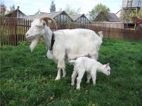Мамы-козы откликаются на зов…
