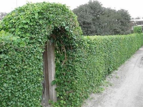 Что посадить, чтобы закрыть забор?