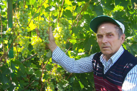 В Красноярском крае пенсионер выращивает на своем огороде по 200 килограммов винограда