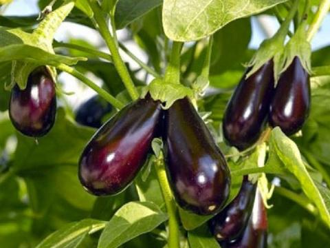 Можно ли баклажаны выращивать без рассады в средней полосе?
