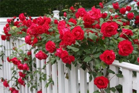 Куда пристроить плетистую розу