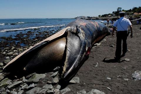 Около 40 китов выбросились на берег Чили по неустановленным причинам