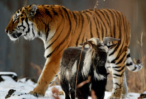 "Закадычные Друзья  "" Тигр и …"