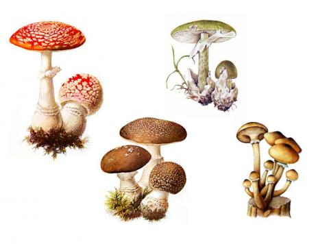 Как отличить съедобный гриб от ядовитого двойника