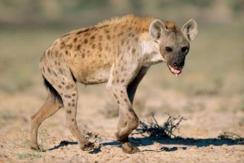 Факты и мифы о гиенах
