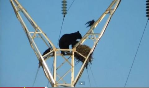 Рисковый медведь! видео