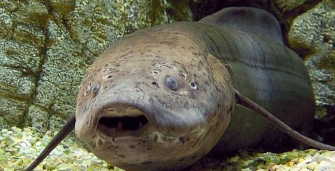 Обнаруженная в Африке рыба может годами жить без еды и воды
